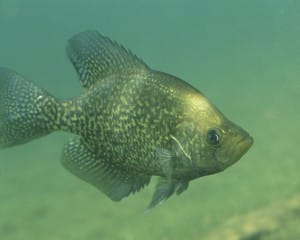 the crappie spawn - black crappie in water