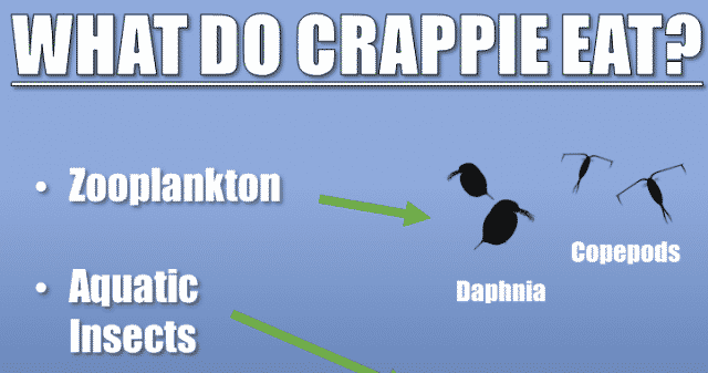 what do crappie eat