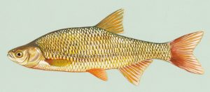 golden shiner minnow drawing