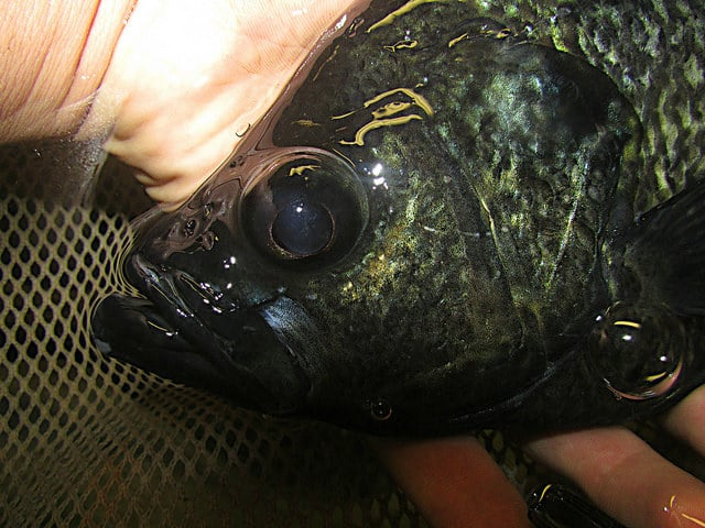 dark crappie during crappie spawn