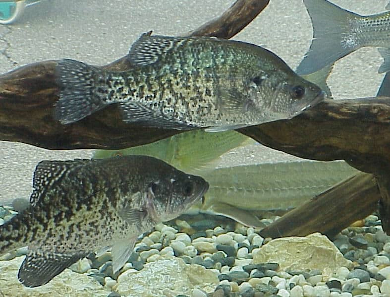 How to Attract Crappie