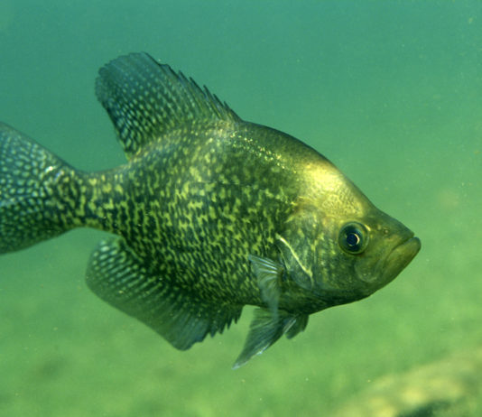 Why Are Crappie So Hard To Catch