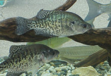 Can Crappie And Bluegill Breed
