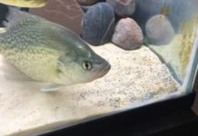 Can Crappie Live in a Fish Tank or be Used in Aquaponics