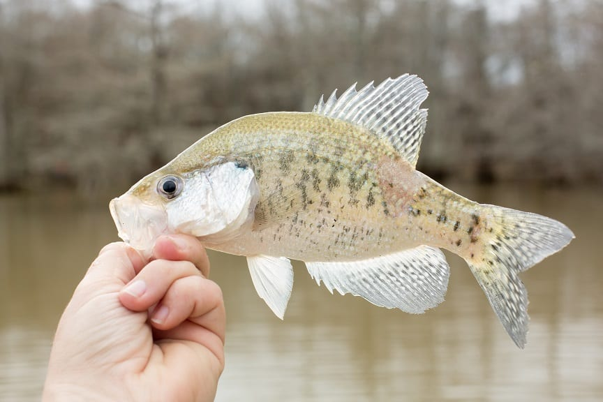 Can Crappie Be Used as Bait and Which Fish Eat Crappie?