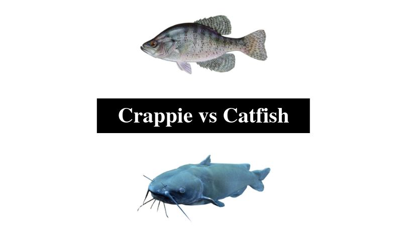 Crappie vs Catfish