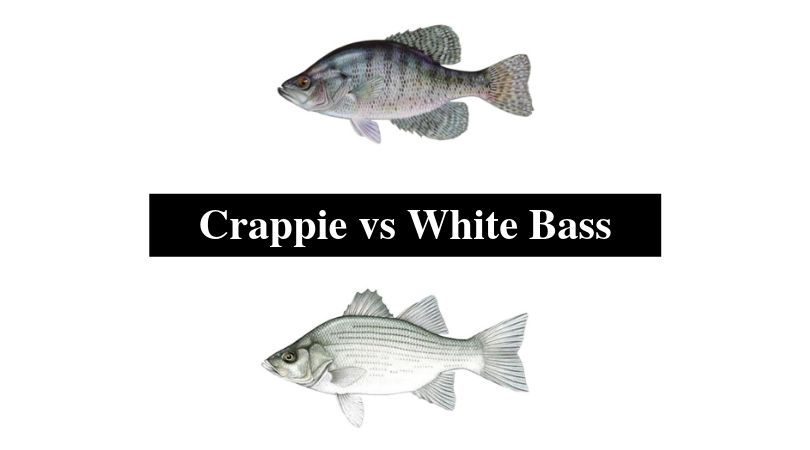 Crappie vs White Bass
