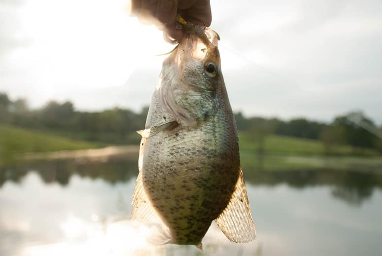 How To Find Crappie With and Without Electronics?