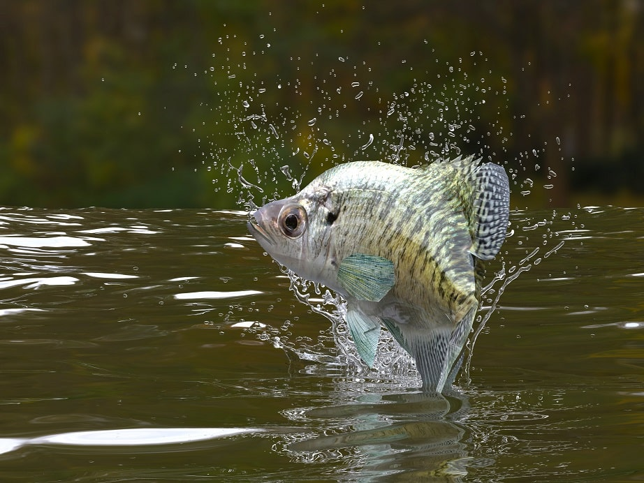 Are Crappie Bottom Feeders?