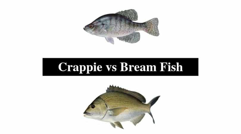 Crappie vs Bream Fish