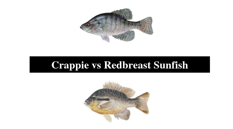 Crappie vs Redbreast Sunfish