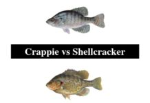 Crappie vs Shellcracker