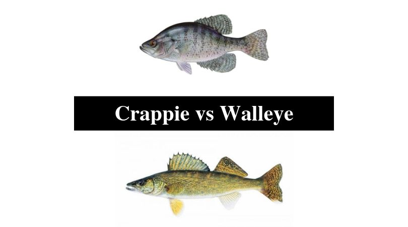 Crappie vs Walleye