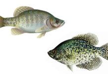 Crappie Species