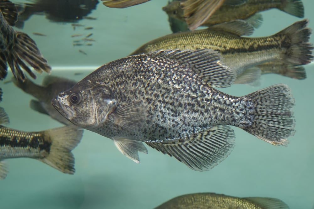 Can You Keep Crappie As Pets