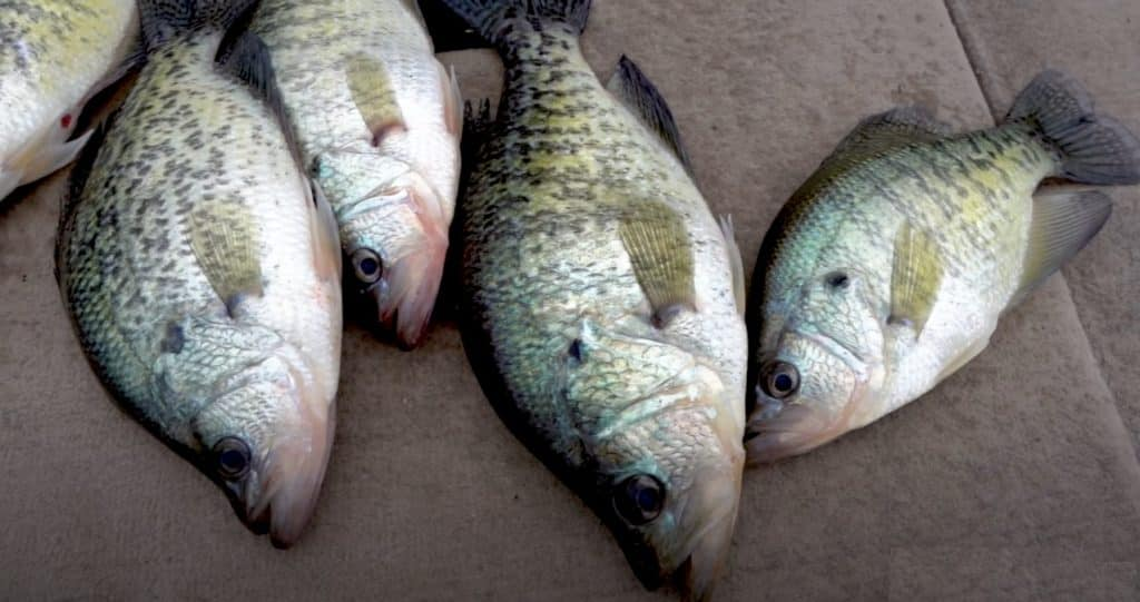 Crappie Fishing in Texas Tips